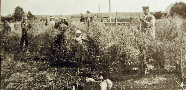 Fröodling av Säfstaholm på 1920-talet. Örebro frö-, frukt- och blomsterhandel