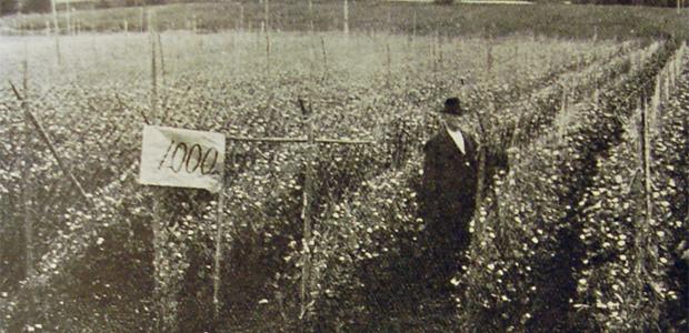 Fröodling av Stensärt på 1920-talet. Örebro frö-, frukt- och blomsterhandel.