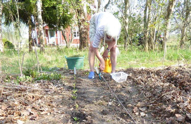 Utplantering av småplantor. Foto: Börje Borgström.